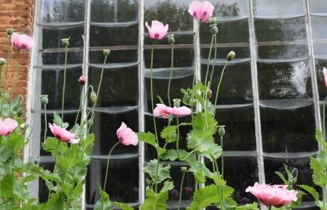 Serre et pavots roses DSC_1681