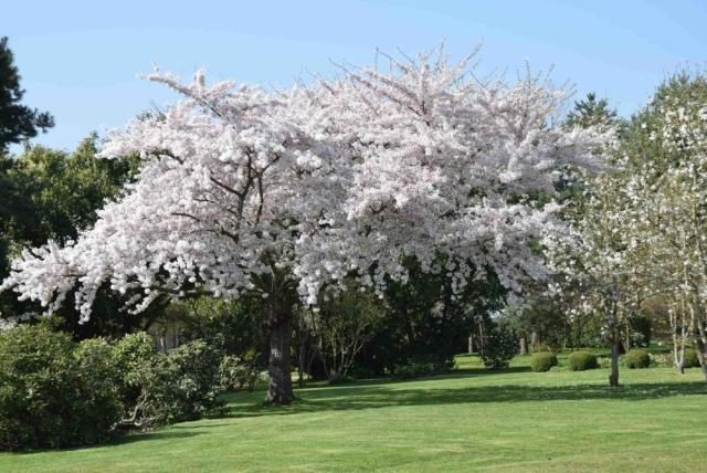 Cerisier à fleurs DSC_1501