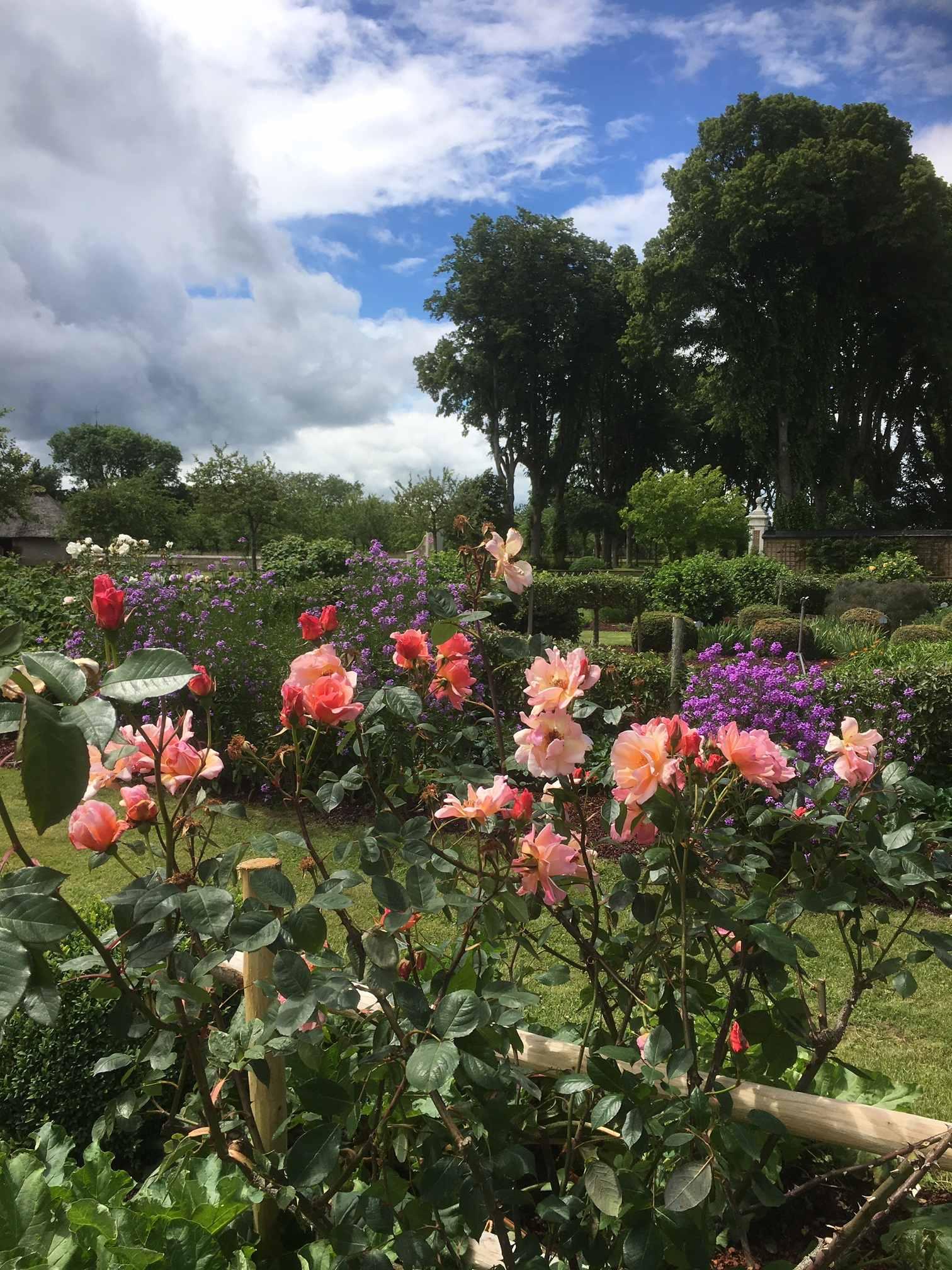 Rosier rose abricoté et Jardin de l'Orangerie juin 2019 IMG_1773